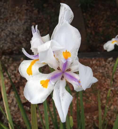 Beauty In Nature Blooming Close-up Crocus Day Flower Flower Head Fragility Freshness Growth Nature No People Outdoors Petal Plant White Color