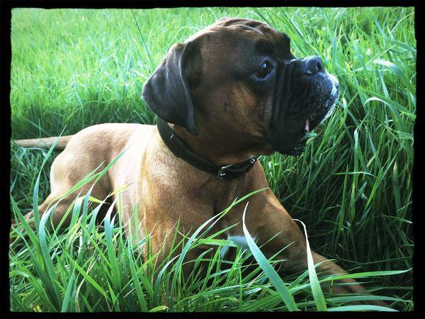 I Love My Dog Dog Boxer Dogs Tadaa Community holzauge sei wachsam ....