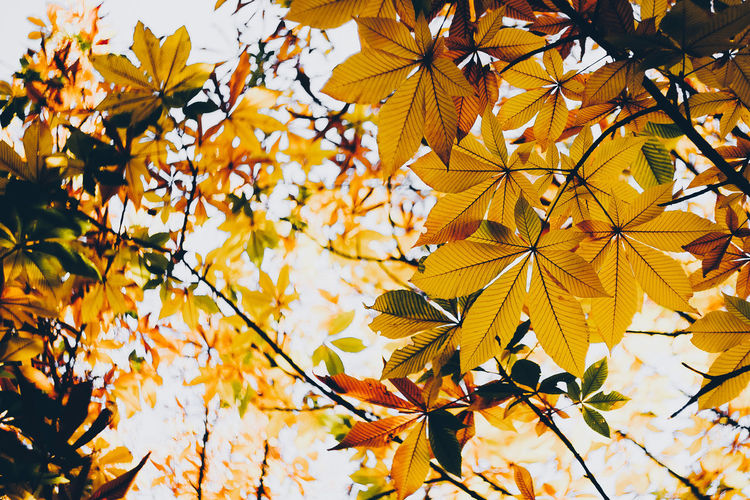 Low angle view of autumnal leaves against tree
