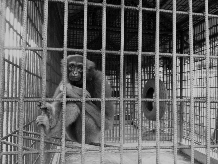 Cage Monkey Animals In Captivity Animal Themes No People Trapped Primate One Animal Indoors  Mammal Prison Day Orangutan