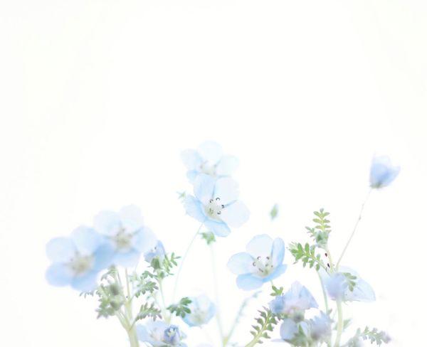 Baby Blue Eyes BabyBlueEyes Blue Flower Nemophila ネモフィラ ネモフィラペニーブラック 花
