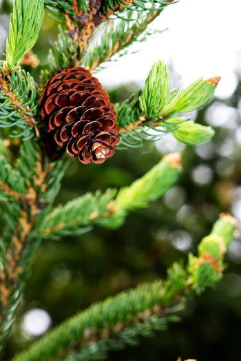 Close-up of a pine tree on a branch Plant Close-up Growth Tree Focus On Foreground Pine Cone Day No People Nature Green Color Leaf Plant Part Selective Focus Beauty In Nature Outdoors Fruit Freshness Branch Twig Pine Tree Coniferous Tree