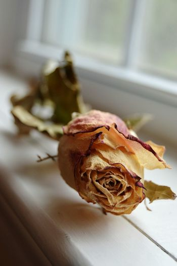 Close-up of dried rose on window sill