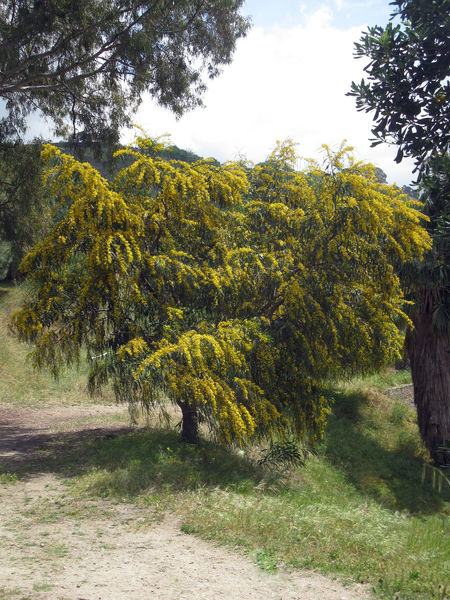 Albero Mimosa Flowers Beauty In Nature Day Field Grass Growth Landscape Mimosa Nature No People Outdoors Scenics Sky Tranquil Scene Tranquility Tree