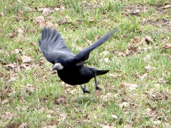 For My Friends 😍😘🎁 Have A Great Day 😚 Beauty In Nature Spread Wings Raven - Bird Animals In The Wild Animal Themes Crow Flying Off Stormy Weather ☔