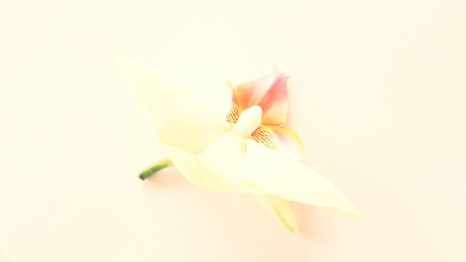White flower petals eyeem white on white simple life bloom blooming orchid floral photography nature photography flower head simple things mightylinksfo