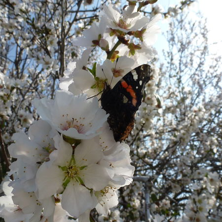 Almond Blossom Almond Tree Almond Tree In Blossom Beauty In Nature Blossom Butterflies Flower In Bloom Nature Nature No People Nymphalidae Pollenation Spring Tree Blossoms