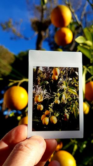 Orange is the new shot Snapshot Leica Sofort In The Garden Orange Color Blue Sky Human Hand Photography Themes Tree Photograph Fruit Holding Photographing Close-up Orange - Fruit Orange Tree Vitamin C Camera Film Picture Frame