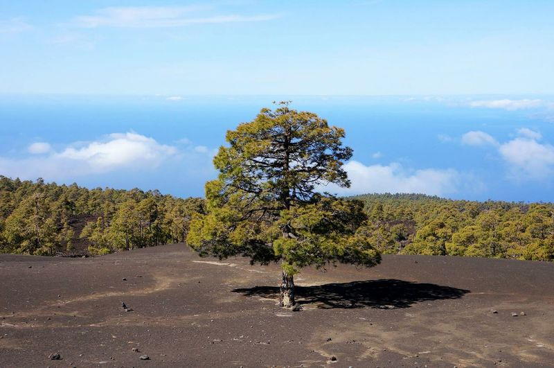 Tree Nature Landscape Growth Scenics Beauty In Nature Tranquility Pine Woodland Idyllic Social Issues No People Grass Single Tree Day Outdoors Travel Destinations Sky Cloud - Sky Teide National Park Tenerife Over The Clouds