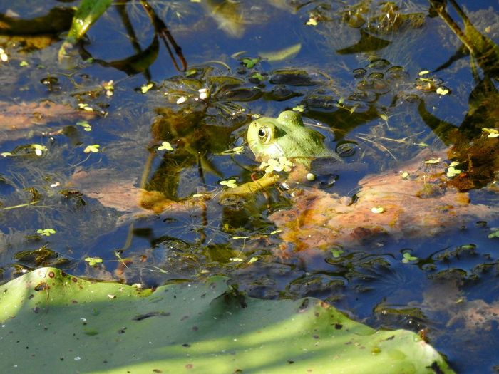 green frog in pond with water lily Hiding In Plain Sight Amphibian Amphibian Photography Frog Frogs Green Frog Its Tough Being Green Pond Life Pond Reflections Pond Lily Pad In The Water Froggy Water Sea Life Underwater Close-up Lily Pad Water Plant Lily Algae Floating Pond Floating On Water