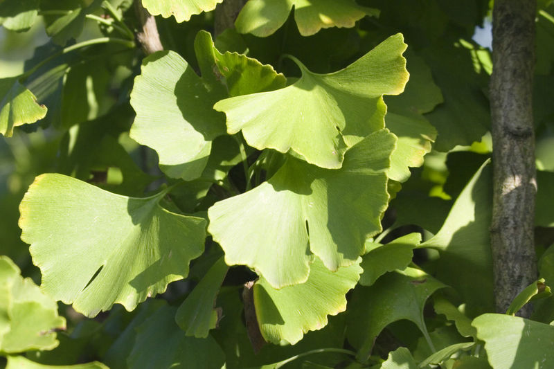 ginkgo leaves - living fossil with many medical uses Alternative Medicine Beauty In Nature Botany Chinese Close-up Flora Freshness Gingko Gingko Leaf Gingko Leaves Gingko Tree Ginkgo Ginkgo Biloba Ginkgo Leaves Ginkgo Tree Healthcare And Medicine Herbal Medicine Longevity Maidenhair Tree Nature Naturopathy No People Outdoors Plant Traditional Chinese Medicine