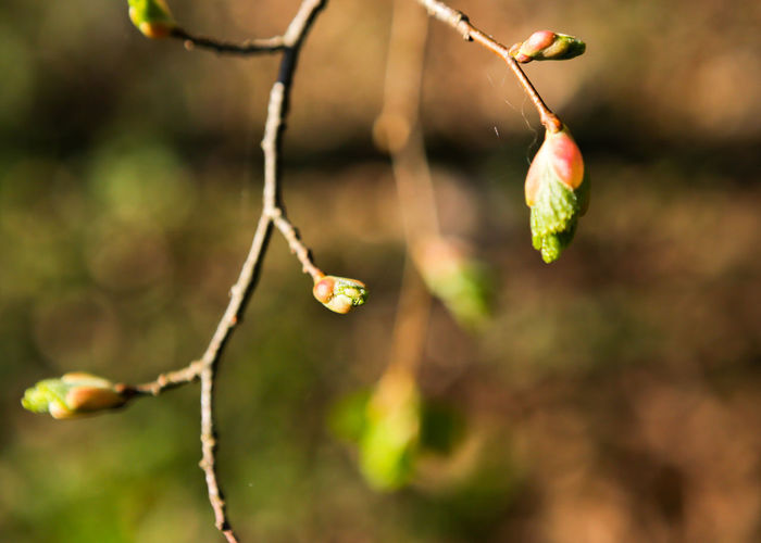 Landscape Nature Photography No People Outdoors Spring Time Delicate Beauty Green And White Tree Branches Blurred Background Daylight Photography Object Photography Buds Bud Of A Tree Plant Photography Plants Sprouting