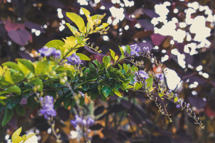 Plant Growth Leaf Plant Part Focus On Foreground Nature Beauty In Nature Close-up Freshness Day Selective Focus No People Outdoors Green Color Purple Vulnerability  Sunlight Fragility Flowering Plant Flower