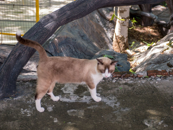 Thai cat Mammal Animal Animal Themes Domestic Animals Domestic Pets One Animal Vertebrate No People Day Nature Canine Side View Looking Dog Young Animal Standing Outdoors