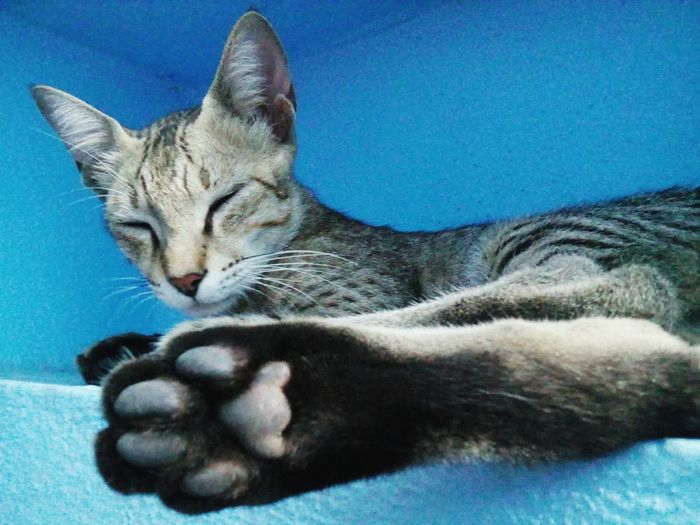 from this angle.. the paws and the face .. they seem same size.. dont they ?! Fine Art Photography Pet Lover Pets Corner Pet Photography  Pet Portrait Blue Wall Shelf Cat In The Shelf Cat Lovers Cats Of EyeEm Animal Interesting Popular Cat Paws Paws Of A Cat Mobile Photography Sleeping Sleeping Cat EyeEm Animal Lover Eyeem Animal Best Shots Showcase July