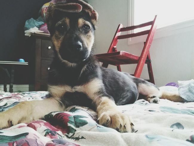 why you gotta mess with the alleycats. Floppy Ears Pet German Shepherd Love