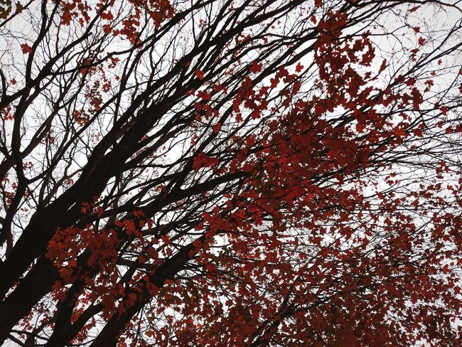 The red leaves are my favorite Sunset Sun Cold Temperature Winter Day Sunlight Blurred Background Red Simple Beauty Beauty In Nature Water Blackandwhite RainDrop Autumn Tree Tree Branch Backgrounds Full Frame Pattern Close-up Sky Blooming In Bloom Petal Twig Plant Life Single Flower Fall