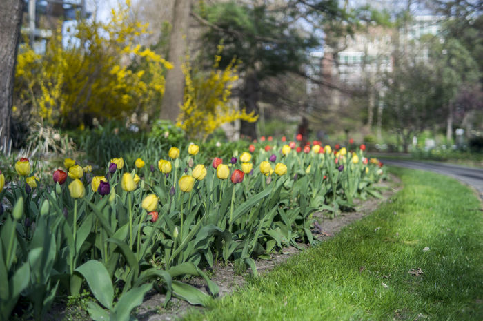 Tulips blooming at W. J. Beal Botanical Garden, Michigan State University, East Lansing, MI. April 2016. Beauty In Nature Blooming Blossom Bored Botanical Garden East Lansing Flower Focus On Foreground Garden Green Green Campus Green Color Life Outdoors S Spring Flowers Spring Time Tranquil Scene