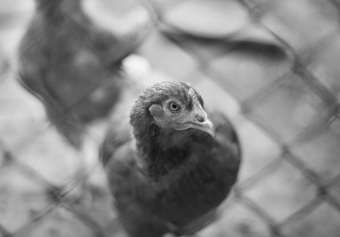 Are You Sure? Are You Sure? Black & White Black And White Cg  Chicken Eye Look Looking At Camera Nature Questioning Seemore Seemorecg Stare Wire