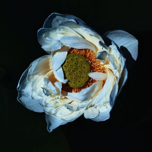 Close-up of yellow rose flower against black background