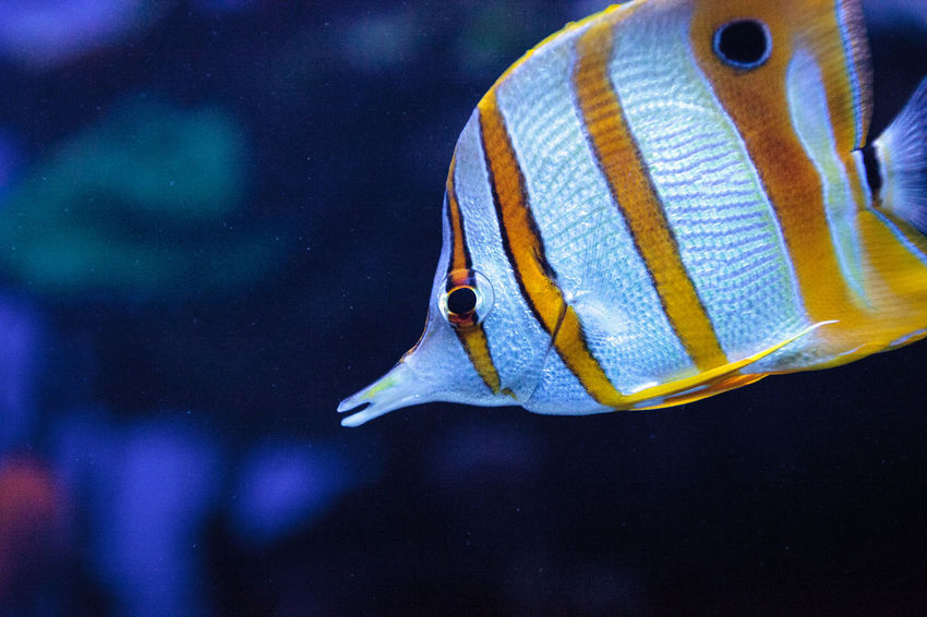 Copper-banded butterflyfish, Chelmon rostratus, picks at the corals on the reef Chelmon Rostratus Copper-banded Butterflyfish Animal Themes Animal Wildlife Animals In The Wild Aquarium Close-up Coral Reef Day Fish Nature No People One Animal Sea Life Swimming UnderSea Underwater Water