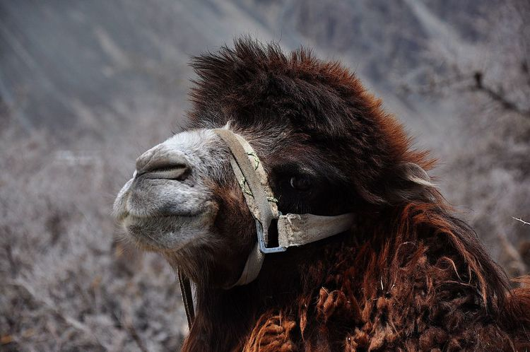 Bactrian Camel Himalayas Camel Hairy  Leh Ladakh.. Mammal Nature No People One Animal Outdoors Tamed Animals