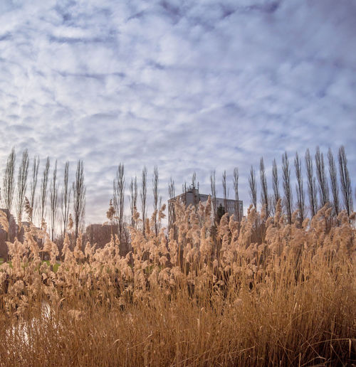 reed near town