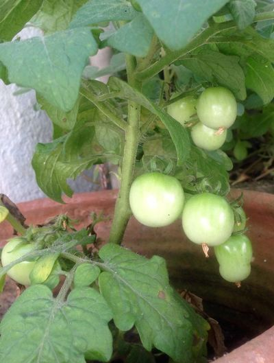Os tomates =.) Ari MyShoots Green Color Fruit Food Freshness