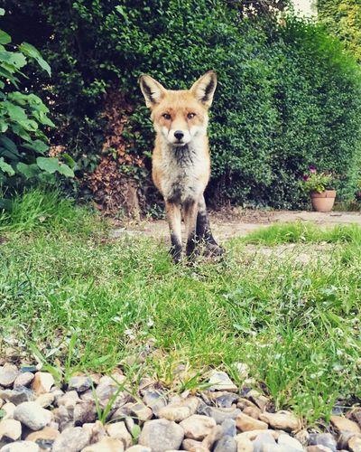 Fox Posing Wildlife & Nature Wildlife In The City London Portrait Animal Green
