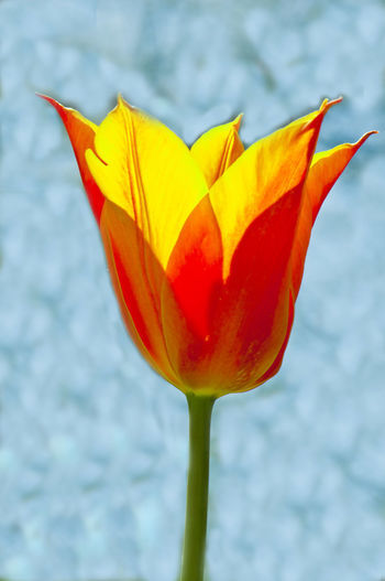 Tulips🌷 Vulnerability  Flower Fragility Freshness Petal Day Nature Red Yellow Outdoors