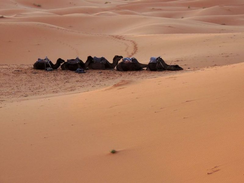 Deserts Around The World Dunes Of Merzouga camel Desert Life Merzouga EyeEm Nature Lover Enjoing Life Explore Nature Morocco Sahara Desert MoroccoTrip Traveling