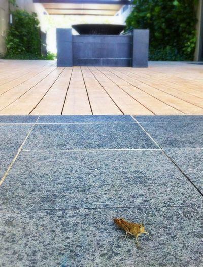 Grasshopper at