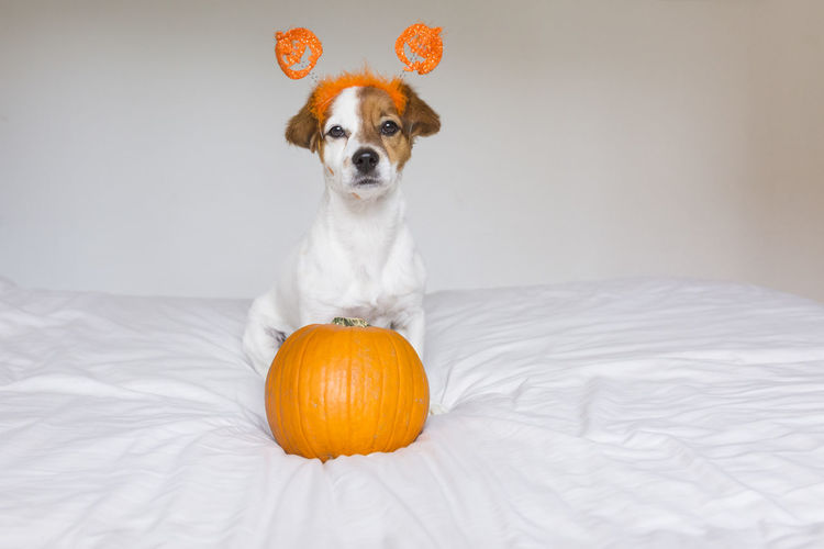 Portrait of dog in headband with pumpkin on bed at home