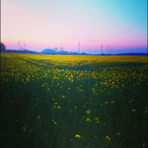 Frühling Raps Abendspaziergang Sonnenuntergang