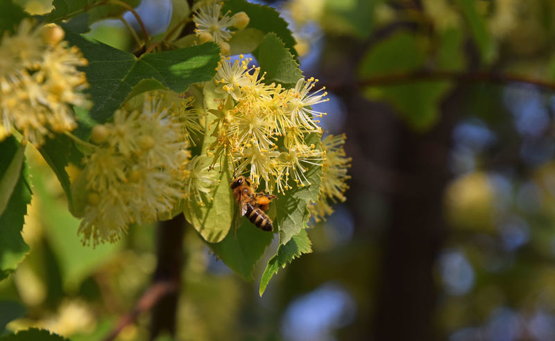 Lindern tree in bloom with honey bee pollinating among yellow blossoms Beauty In Nature Bee Blooming Blossom Blossoming  Blossoms  Close Up Close-up Flower Head Honey Honey Bee HoneyBee In Bloom Linden Linden Tree Nature Petal Pollination Season  Summer Summertime Yellow