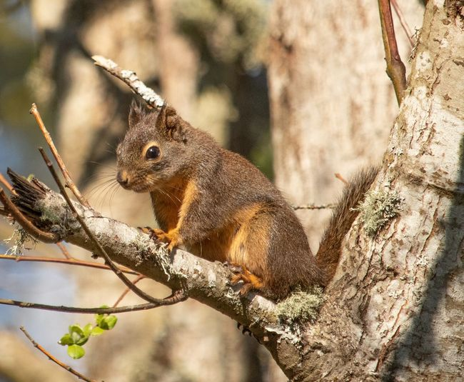 Squirrel Animal Animal Themes One Animal Animals In The Wild Animal Wildlife Vertebrate Focus On Foreground No People Close-up Nature Day Branch Outdoors Sunlight