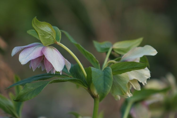 Beauty In Nature Close-up Flower Flower Head Hellebores Are Out Nature Outdoors Plant