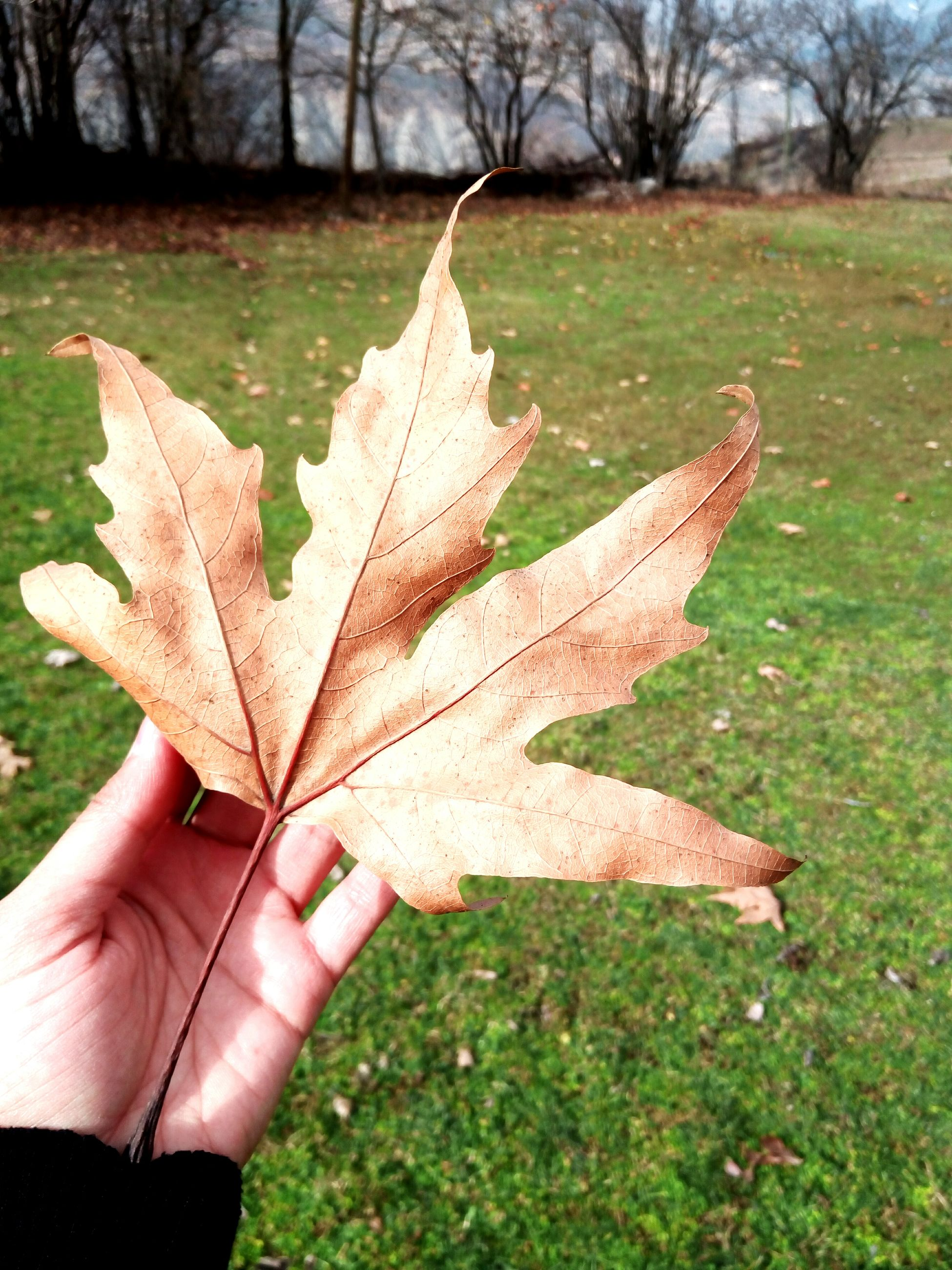 leaf, autumn, focus on foreground, outdoors, day, human hand, nature, maple, change, maple leaf, close-up, one person, human body part, grass, tree, fragility, people