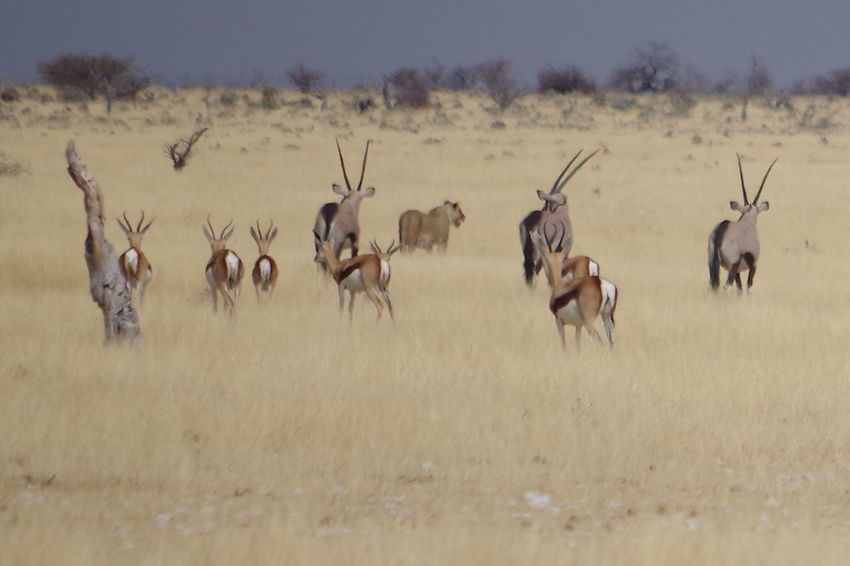Lion Namibia Landscape Namibia Desert Etosha National Park Namibia Afrika Safari Animals Antelope Landscape