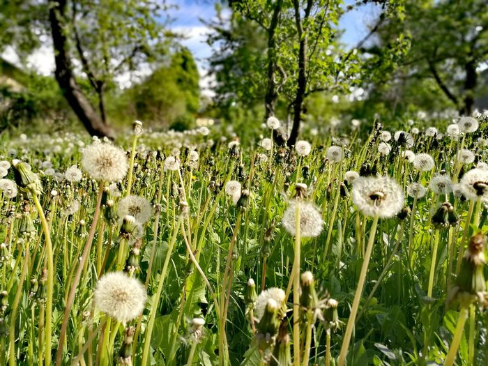 Dandelion Field Uncultivated Beauty In Nature Nature Green Color Day Close-up Fragility Flower Head Plant Outdoors No People Poland Field