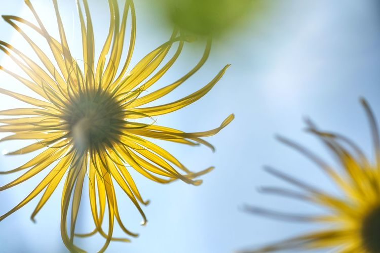 Flower Plant Flowering Plant Growth Freshness Fragility Vulnerability  Yellow Beauty In Nature Close-up Petal Selective Focus Inflorescence No People Flower Head Nature Focus On Foreground Pollen Day Outdoors Sepal Dandelion Seed Gamswurz Doronicum Flower Doronicum