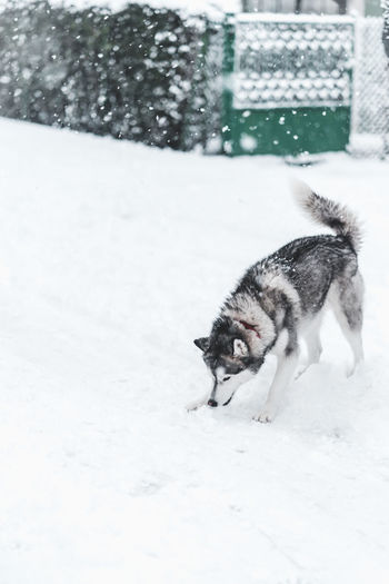 Husky Snow Winter Cold Temperature Animal Themes Animal Mammal One Animal Pets Domestic Domestic Animals Vertebrate White Color Dog Canine Day Field Nature Land No People Snowing
