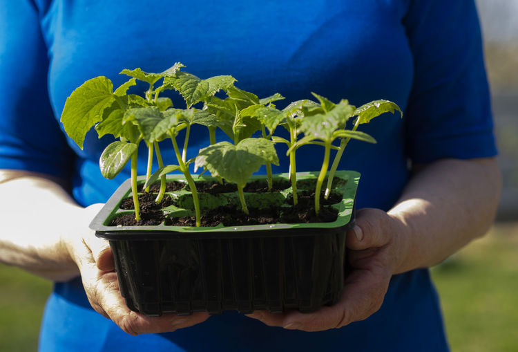 Hands of senior caucasian woman is holding a container with cucumber seedlings. Caucasian Woman Holding Gardening Container Cucumber Seedlings Blue Midsection Real People One Person Plant Growth Focus On Foreground Nature Green Color Leaf Hand Men Plant Part Human Hand Lifestyles Outdoors Care Freshness Human Body Part Close-up Purple