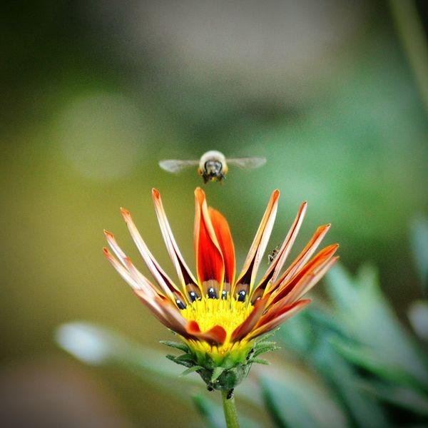 Flower Bee Flower Bee PhotoByMuratGul