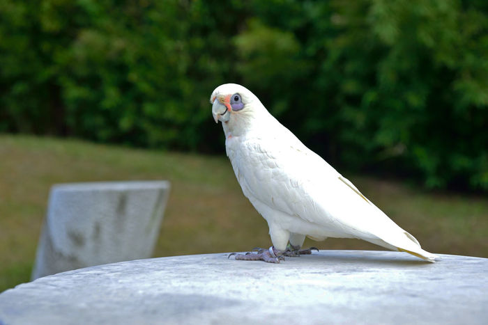 Cute white parrot Animal Themes Animal Wildlife Animals In The Wild Bird Close Close-up Day Focus On Foreground Lively Lovely Nature Naughty But Nice No People One Animal Outdoors Perching Pet Retaining Wall Tame White Color
