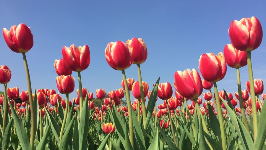 Nofilter EyeEm Nature Lover Nature Flower Tulips EyeEm Best Shots EyeEm Gallery Eye4photography