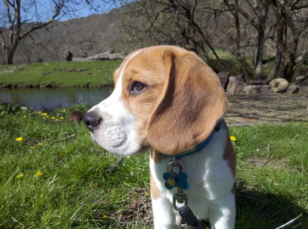 EyeEm Selects Dog Pets Domestic Animals One Animal Mammal Animal Themes Grass Field Outdoors No People Day Beagle Water Nature Growth Tree Beaglepuppy Beaglelovers Beagleoftheday Beaglelife Puppy
