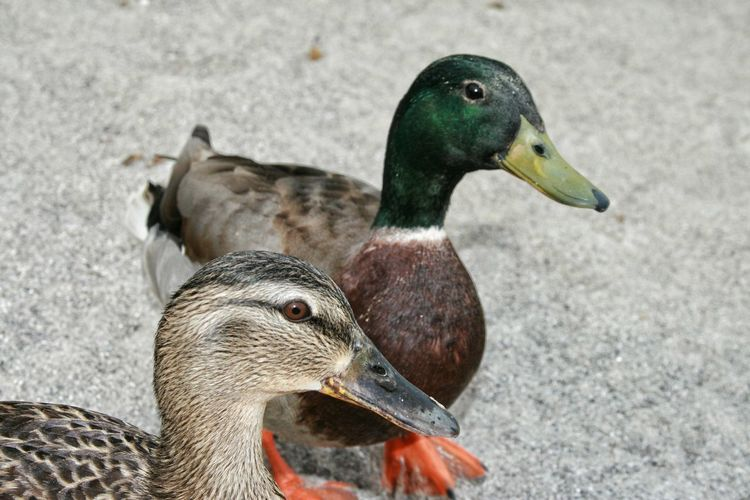 Close-up side view of ducks