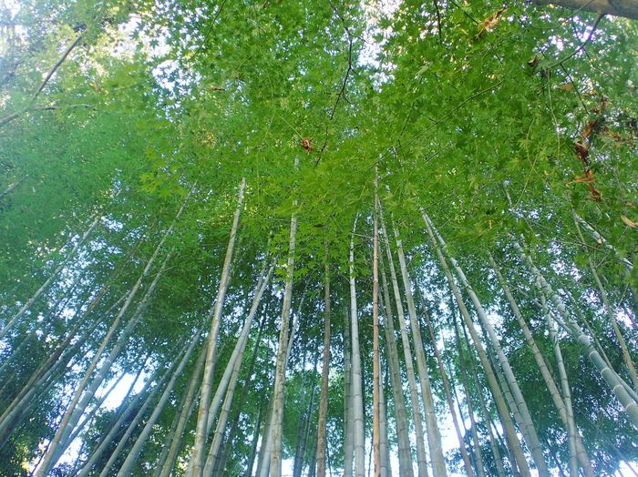 Bamboo Green Beauty In Nature No People Beauty Of Earth Beauty In Nature Nature Mitake Tokyo Japan