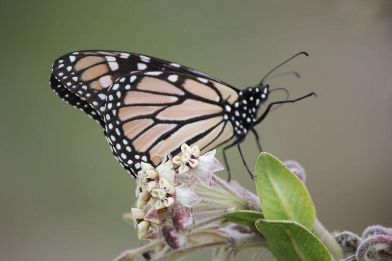 Monarch Butterfly South Australia Mannum